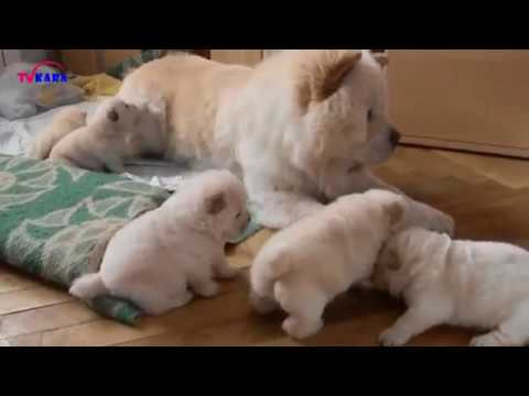 Chow Chow Dog | Cute Dog You must See | Chó Chow Chow Puppy đẹp