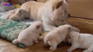 Chow Chow Dog   Cute Dog You must See   Chó Chow Chow Puppy đẹp