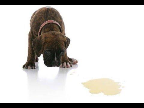 Как отучить собаку ссать на ковер