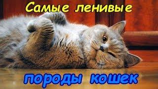 САМЫЕ ЛЕНИВЫЕ ПОРОДЫ КОШЕК     The most lazy cats