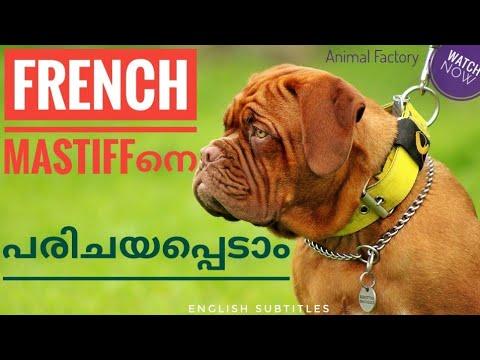 French Mastiff Facts | Malayalam | Animal Factory