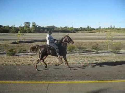 Racking american saddlebred colt. SOLD