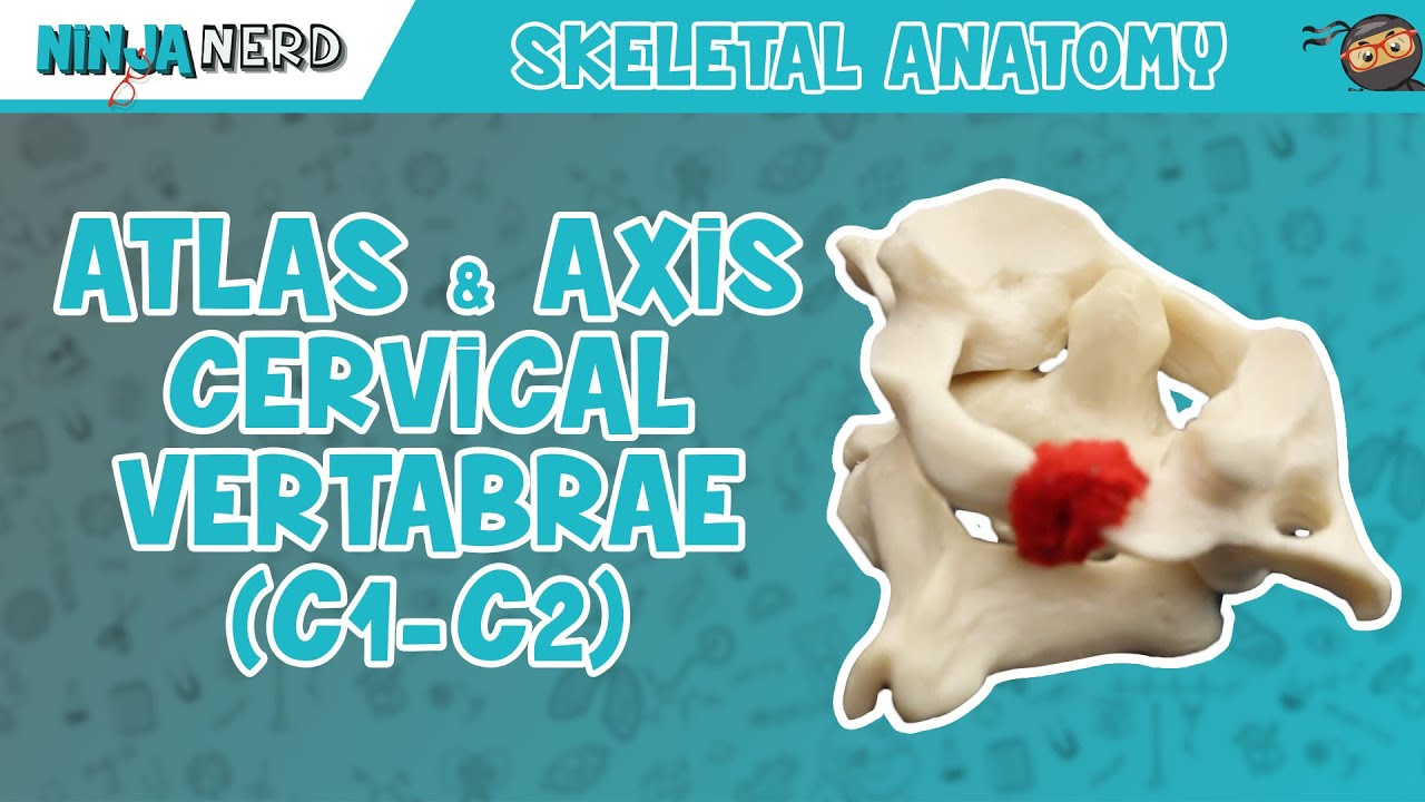 Atlas Axis Cervical Vertebrae C1 C2 Anatomy Youtube
