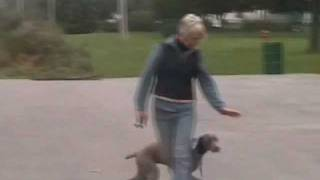 Off Leash Dog Training For Weimaraner. Elburn Il  Dogs 4 Life Training