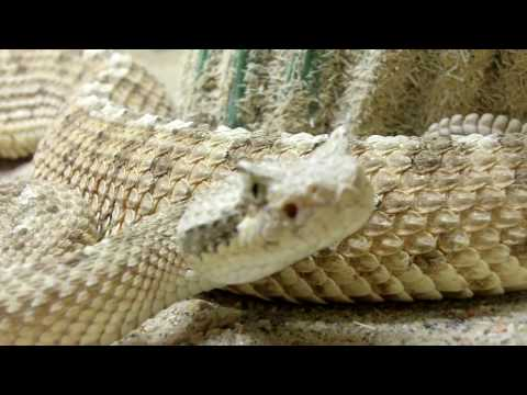 American International Rattlesnake Museum HD