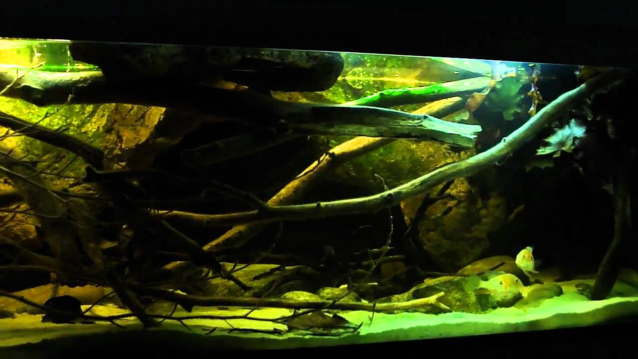 South American Biotope Fish Tank 22 2 2011 Mp4 Youtube