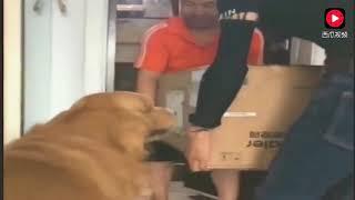 主人跟金毛在网上买了一只狮子,拆开一看总觉得那里不对劲