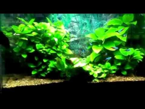 Anubias planted tank with Neon Tetras - YouTube