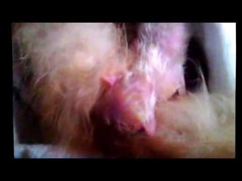 Kucing Anggora Melahirkan (angora cat giving )