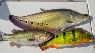 INVASIVE vs NATIVE Fish...Catch Clean Cook (Clown Knife Fish, Peacock Bass, Largemouth Bass)