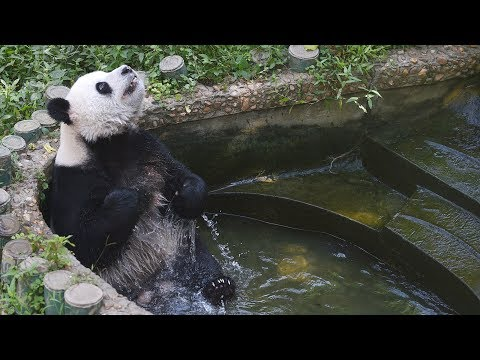 Panda obsessed with cleanliness becomes favorite in east China zoo