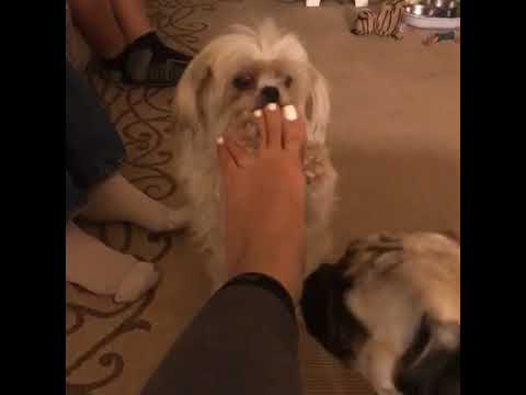 Animalsdt  white dog licking owners feet