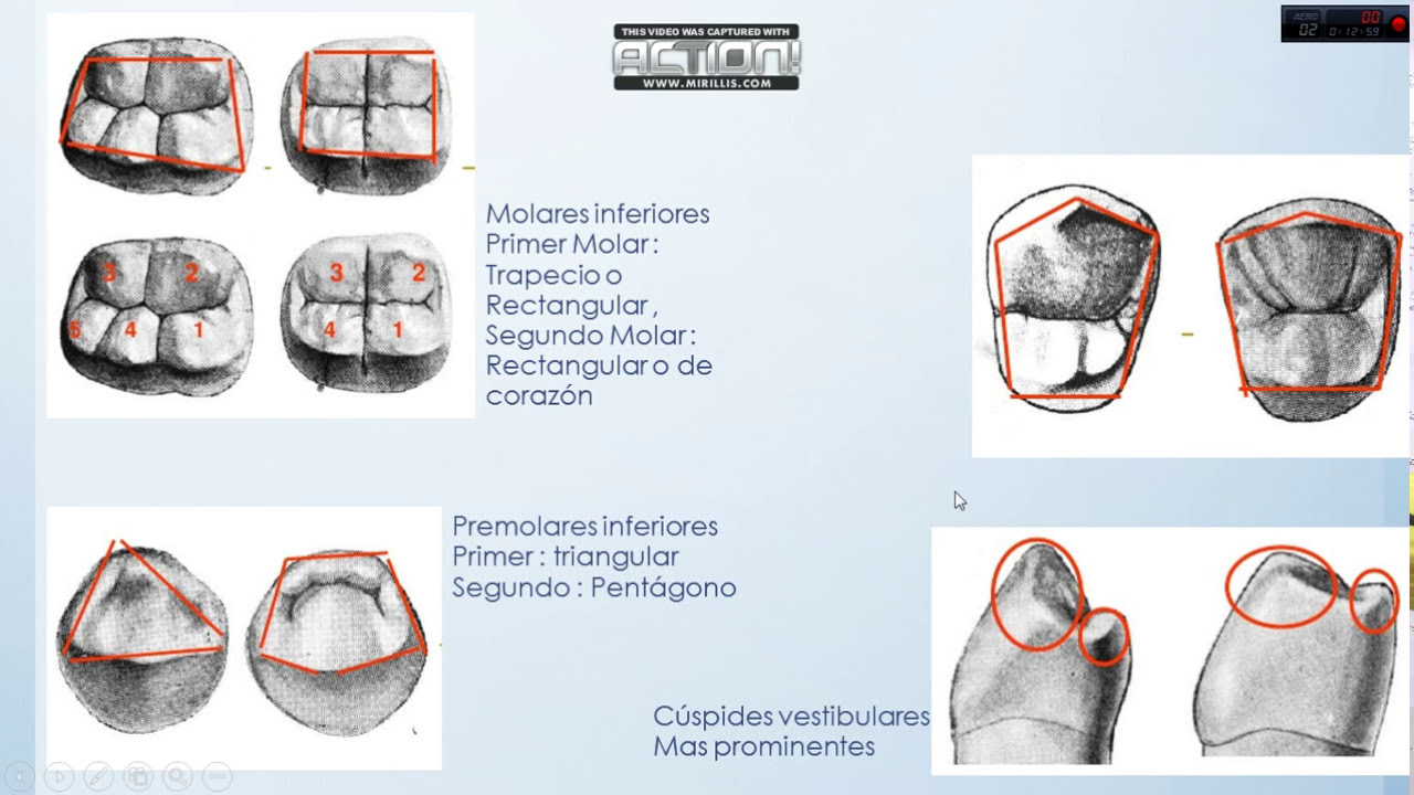 Anatomia Dental , Forma de superficies dentales , Video 3 - YouTube