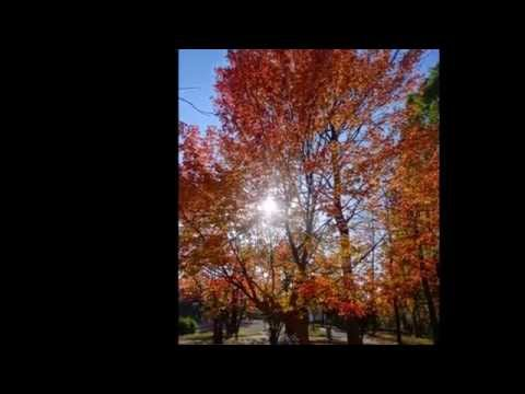 Scenery of the autumnal leaves of Yokohama-shi, Kanagawa,Japan (横浜市青葉区の秋の紅葉2014年)