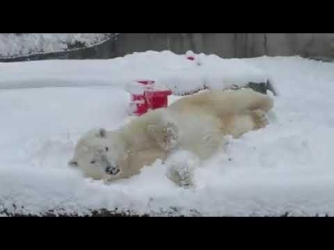 Blizzard the polar bear enjoys a snow day