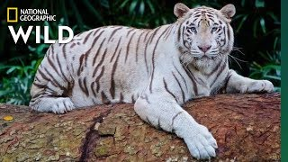 Global Tiger Day: See Why These Cats Earned Their Stripes | Nat Geo Wild