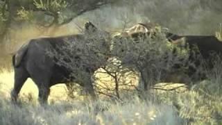 Spectacular Buffalo fight,Mokala, South Africa