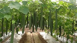 Trellis for Pole Sitaw, Patola and other crops by EWS Knowledge Transfer. Shared by The Veggie Man