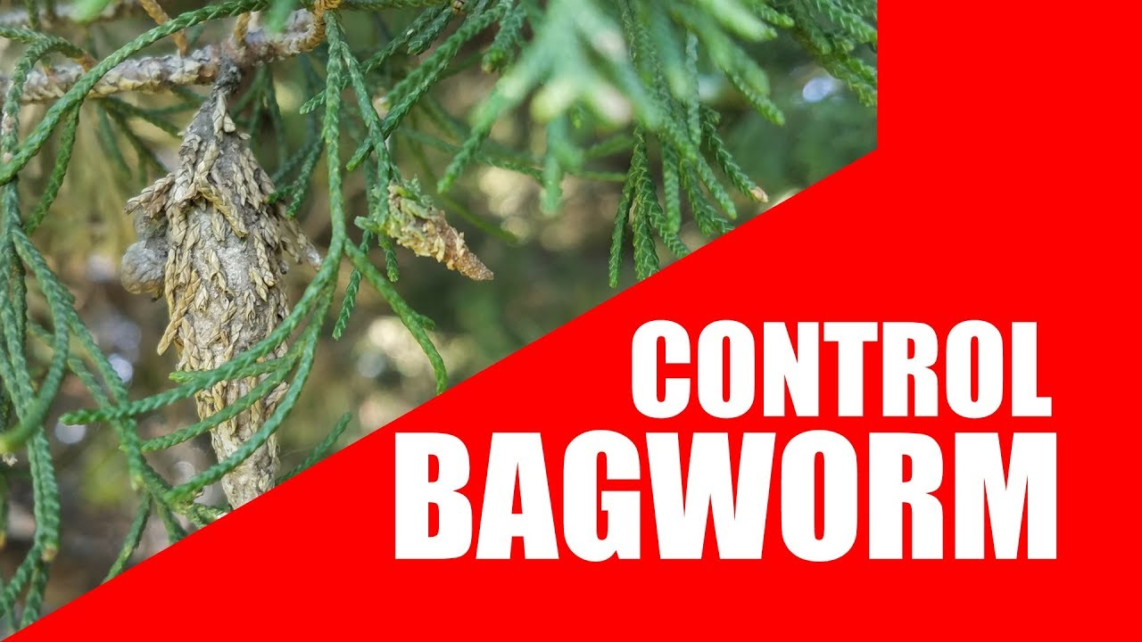 How to control Bagworms
