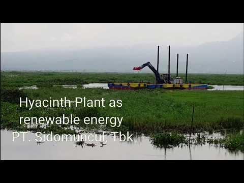 Sidomuncul Use Water Hyacinth as Renewable Energy Sources