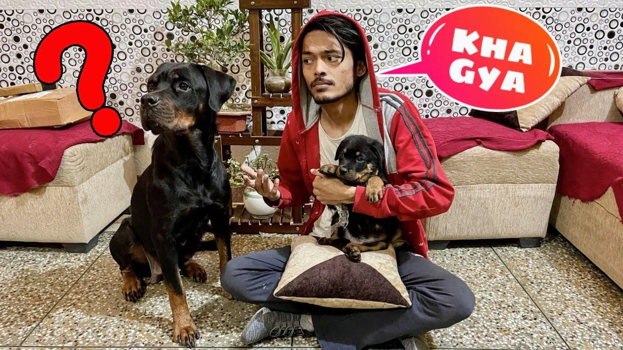 Sultan Chori Ho Gaya😱| Dog Can talk part 94 || Roxy the Rottweiler. Roxy Ke Bacche. Review reloaded