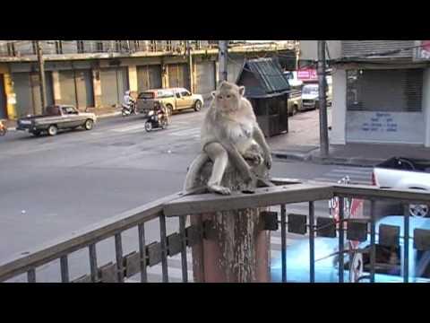 City of Monkeys - Lopburi - Thailand