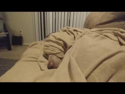 Sleepy Weimaraner Under Covers