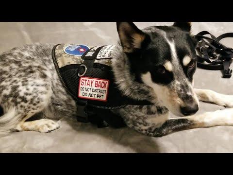 🐕Gear Haul! My Service Dog Vest, Harness, Equipment, Supplies, Etc.
