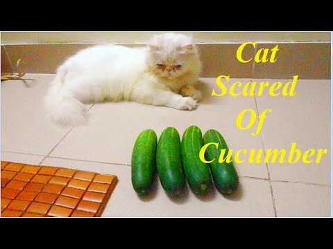 Cat Scared Of Cucumber - Funny Cat Video 2017 - YouTube Funny Cat Videos Cucumbers