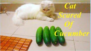 Cat Scared Of Cucumber - Funny Cat Video 2016
