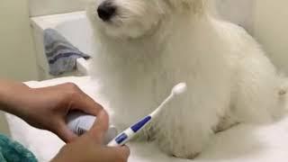 Maltese Puppy Brushing Teeth before bedtime