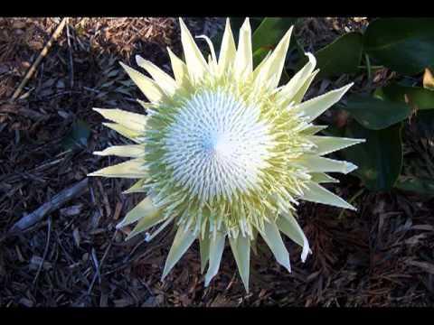 Protea - White King