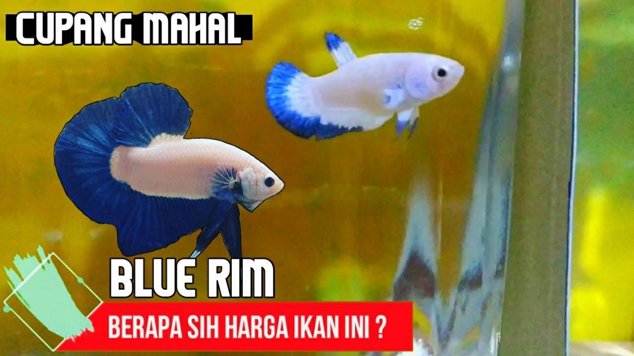 Mengenal Ikan Cupang Blue Rim Beserta Harganya