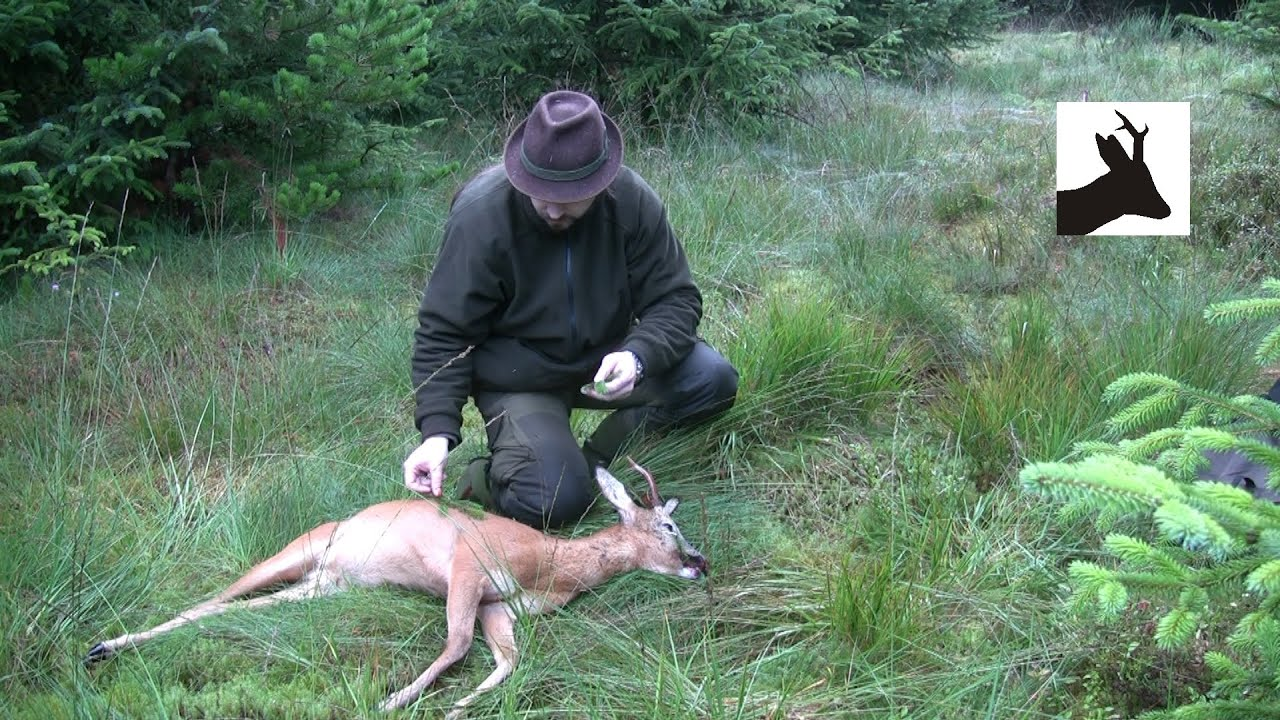 Fifth roe buck of the season 2011. Scotland. Deer stalking ...