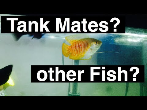 Gourami Fish Tank Mates - Others With Gourami?