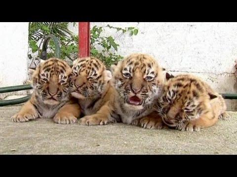Dört yeni Bengal kaplanı