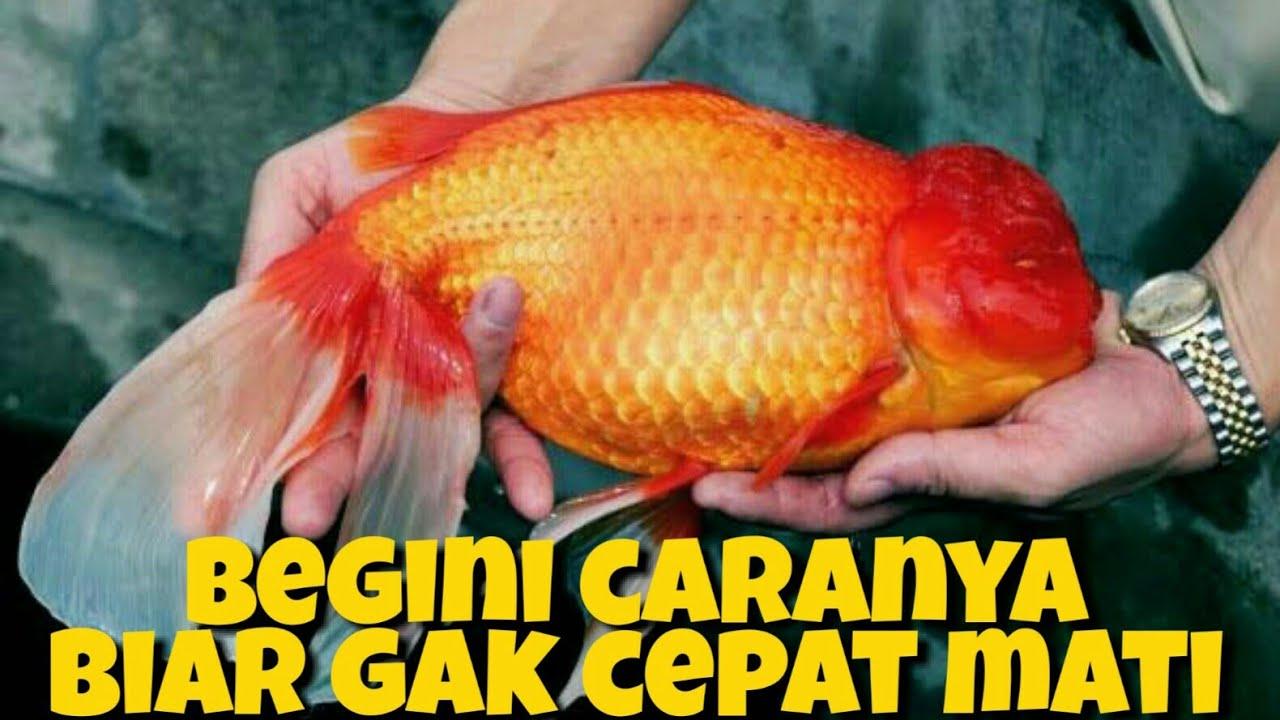 5 Penyebab Ikan Mas Koki Cepat Mati Youtube