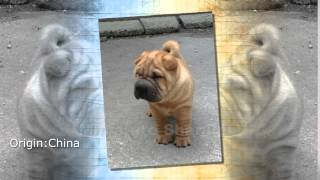Miniature Shar Pei Dog Breed