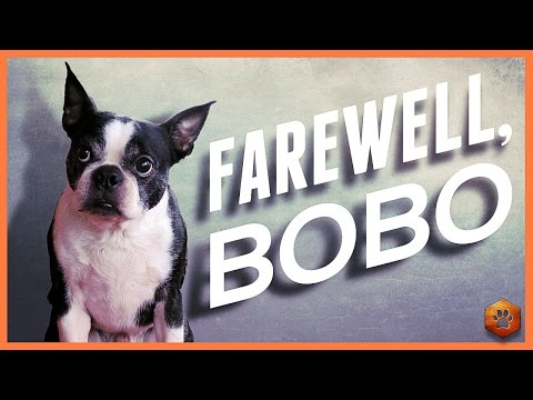 Farewell Bobo - Saying Goodbye to my Boston Terrier