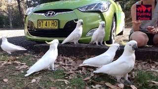 Кормление попугаев какаду в Сиднее ч.2
