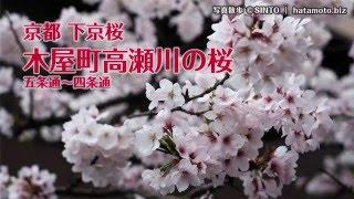 京都下京桜 木屋町高瀬川 2016(五条通〜四条通)