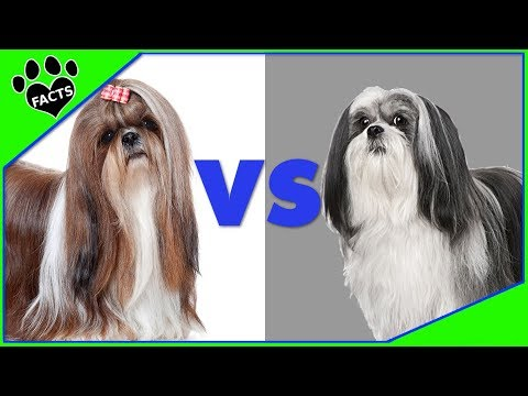 Lhasa Apso vs. Shih Tzu - Dog vs Dog:Which is Better?  Animal Facts