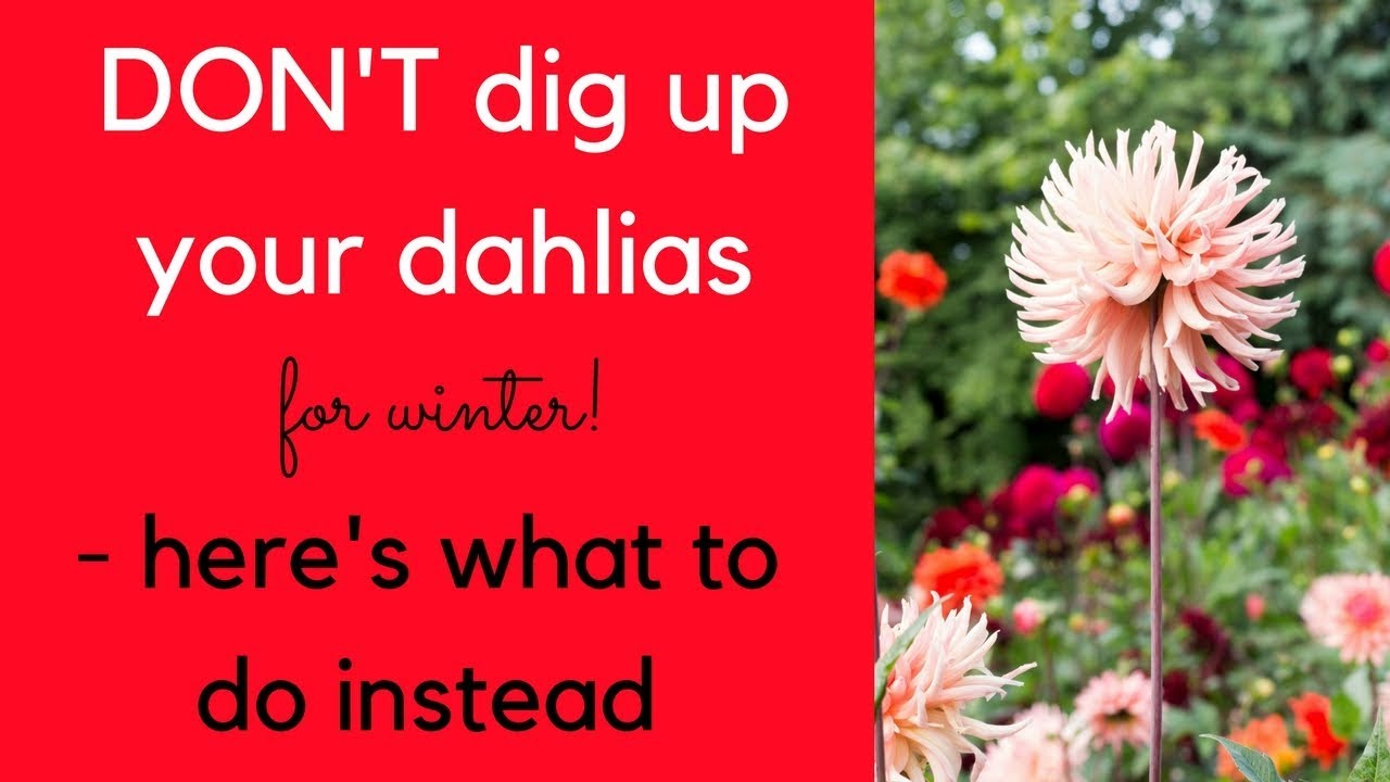 Dont dig up your dahlias this winter heres what to do instead dont dig up your dahlias this winter heres what to do instead izmirmasajfo