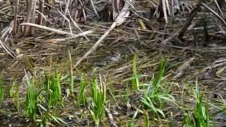 Кваканье лягушек
