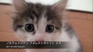 ノルウェイジアン フォレストキャット 2011年10月7日生まれ メス ペット...