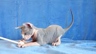 ETEREO потрясный кот голубой биколор