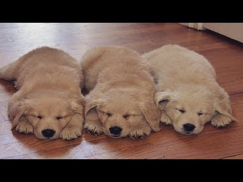Funniest & Cutest Golden Retriever Videos - 25 Minutes of Best Dog and Puppy Fails 2018!