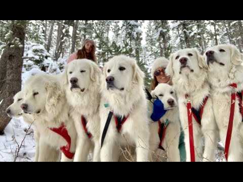 Dog Sledding With Our Livestock Guardians At Big Horn Mountain Alpacas
