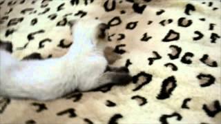 Вислоухий сиамский котёнок