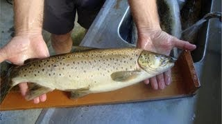How To Fillet Brown Trout - Kadandy Cottage Lake Brunner New Zealand